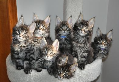 Cute Main Coon Cats